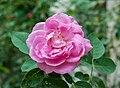 Rosa × centifolia 21072014 (1).jpg