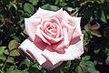 Rosa Gene Boerner 0zz.jpg
