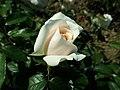Rosa Lions-Rose 2019-06-05 6785.jpg