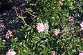 Rosa Palmengarten Frankfurt 1zz.jpg