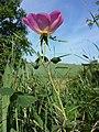 Rosa gallica sl8.jpg