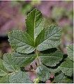 Rosa glauca leaf (08).jpg