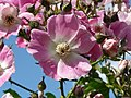Rosa majalis inflorescence (03).jpg