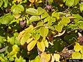 Rosa rugosa leaf (15).jpg