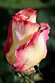 Rose, Garden Party - Flickr - nekonomania (6).jpg