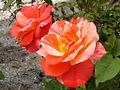 Rose The Painter バラ ザ・ペインター (4976085865).jpg