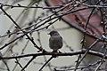 Rotschwanz in Kirschbaum.jpg