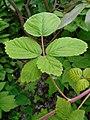 Rubus allegheniensis 2017-05-23 1495.jpg