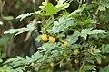 Rubus palmatus var. coptophyllus 03.jpg