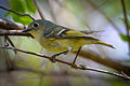 Ruby-crowned Kinglet (Regulus calendula) (16516852483).jpg