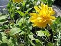 Rudbeckia lacimata Goldquelle 2zz.jpg