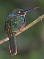 Rufous-tailed Jacamar (8264647396) (cropped).jpg