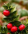 Ruscus aculeatus 'John Redmond'. Locatie, Tuinreservaat Jonkervallei 03.jpg
