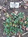 Ruscus hypoglossum Kőszeg1.jpg