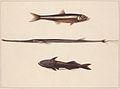 SLNSW 797153 f 13 Atherine TabaccoPipe Fish Remora Fish.jpg