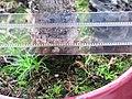 Sagina in bonsai 2.jpg