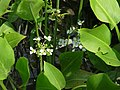 Sagittaria platyphylla.JPG