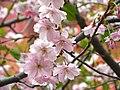 Saint Petersburg. Chinese Garden. Sakura tree2017 09.jpg