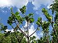 Salix-ssp-1020861.JPG