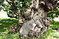 Salix koreensis 3.jpg