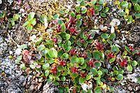 Salix polaris IMG 5657 polarvier reinsdyrflya.JPG