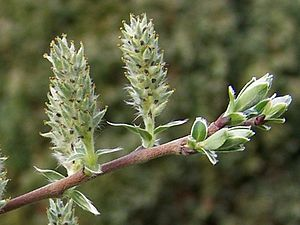 Kriech-Weide (Salix repens)