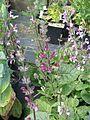 Salvia hierosolymitana - Flickr - peganum (6).jpg