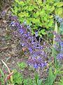Salvia pratensis Indigo - Flickr - peganum.jpg