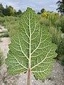 Salvia sclarea sl6.jpg