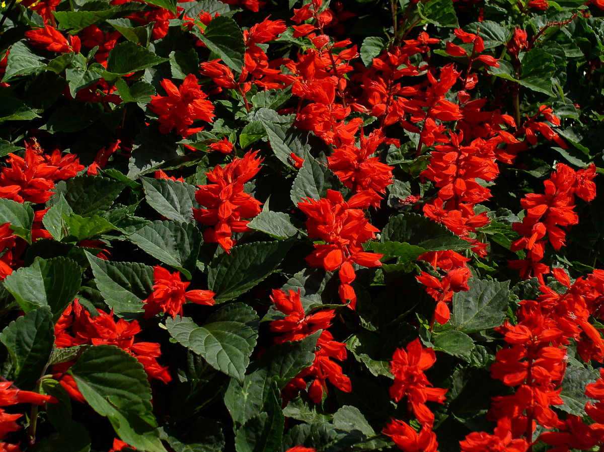 Salvia Splendens Wikipedia
