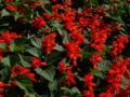 Salvia splendens1.jpg