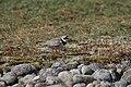 Sandlo, Ringed plover (Charadrius hiaticula).jpg