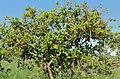 Sandpaper Stamperwood (Ehretia amoena) (16905571712).jpg
