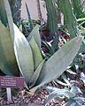Sansevieria ehrenbergii, Allan Gardens.jpg