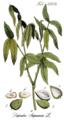 Sapindus saponaria Ypey38 edit PNG v.png