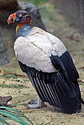 Sarcoramphus papa -National Zoo -Washington -USA-8a.jpg
