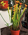 Sarracenia flava cuprea Exhibition of Carnivorous Plants Prague 2015 1.jpg