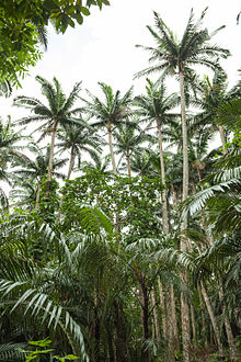 Satake palm trees (Satakentia liukiuensis) in native forest of Ishigaki Island, Okinawa, Japan.jpg