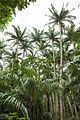 Satake palm trees (Satakentia liukiuensis) in native forest of Ishigaki Island, Okinawa, Japan.jpg