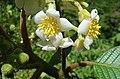Saurauia montana, detail of the Moquillo flower. (9502697591).jpg