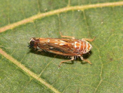 Scaphoideus titanus F