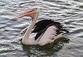 Scarborough Pelican waiting for food-01 (12361620603).jpg