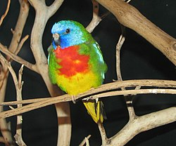 Neophema Splendida o Periquito Espléndido 250px-Scarlet_Chested_Parakeet
