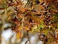 Scarlet Oak (31133056186).jpg