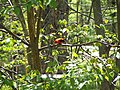 Scarlet Tanager in Durham, Maine.jpg