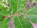 Schinus terebinthifolius, aroeira-da-praia - Flickr - Tarciso Leão (5).jpg