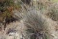 Schoenus nigricans kz06.jpg