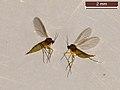 Sciaridae sp. (26313397878).jpg