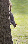 Sciurus carolinensis grey squirrel head down.jpg