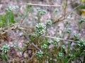 Scleranthus perennis inflorescence (20).jpg